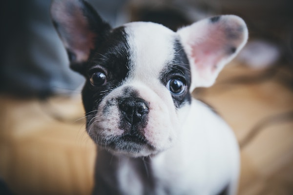 pet-dog